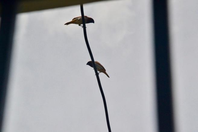 spotted munia
